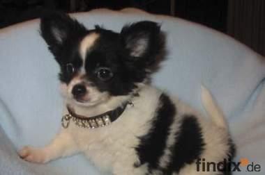 Chihuahua -Welpen,Lang- und Kurzhaar, aus seriöser Zucht