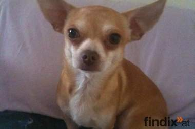 Chihuahua Deckrüde Spike