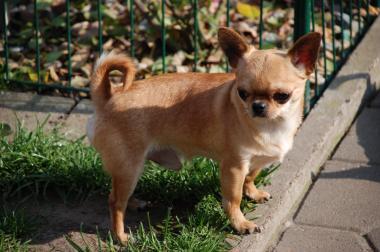 Chihuahua Deckrüde Typvoll