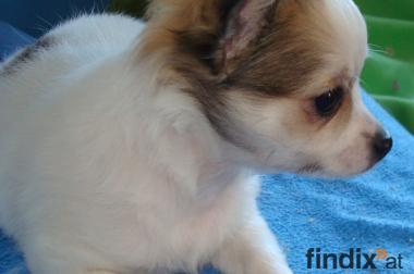 Chihuahua langhaariger Schlag, weiß mit Abzeichen