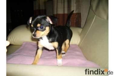 Chihuahua (little) Welpen abzugeben