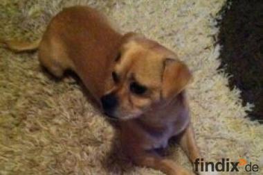 Chihuahua - Pinscher (Rüde) Mischling
