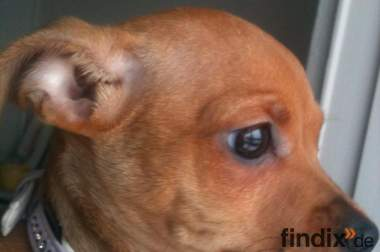 Chihuahua-pinscher Weibchen / Welpe abzugeben !