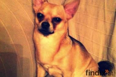 Chihuahua Rüde 1 jahr alt