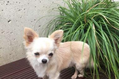 Chihuahua Rüde mit ÖKV Stamm