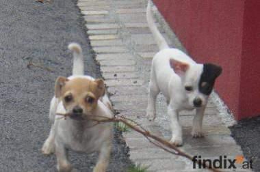 Chihuahua Rüden kurzhaar