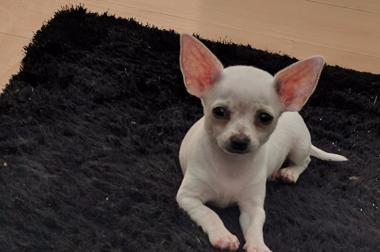 Chihuahua weiblich