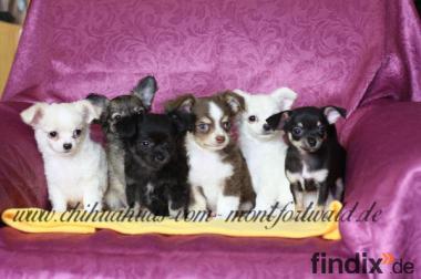 ``Chihuahua -Welpen aus seriöser Zucht !!!!´´