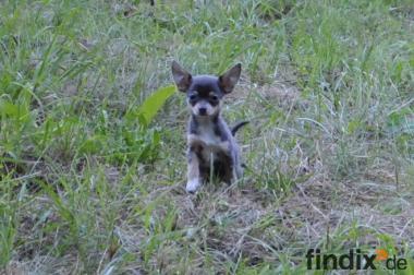 Chihuahua Welpen mit EU Heimtierausweis und Stammbaum.