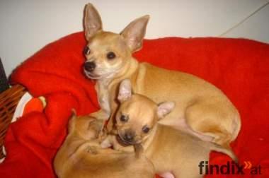 Chihuahua Welpen mit FCI Stammbaum