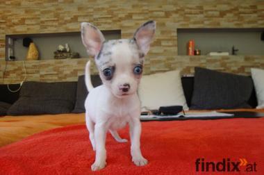 Chihuahua Welpen Rüden Blue Merle