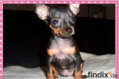 Chihuahua Welpen suchen ein zu Hause !