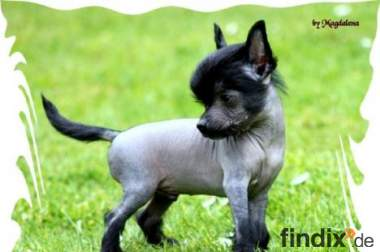 Chinese Crested  Welpen mit VDH Ahnnentafel