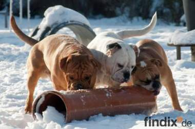 Continental Bulldog eine neue Rasse aus der Schweiz