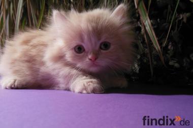 Cream Tabby Perser Katze(mänlich)