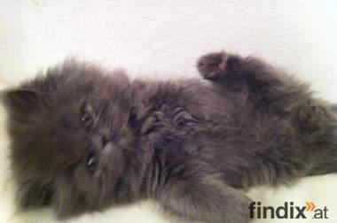 Das süße Perser Baby Layla   VERKAUFT !!!!