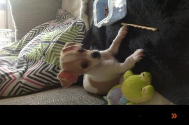Der kleinbleibende Chihuahua Welpe ROCKY sucht ein liebevolles Zu