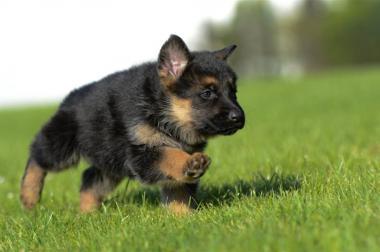 Deutscher Schäferhunde Welpen - Rüden