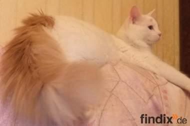 ***Die Beste Katzenrasse---Turkish Van Babys abzugeben***