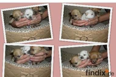 Die Kleinen Chihuahua Puppys