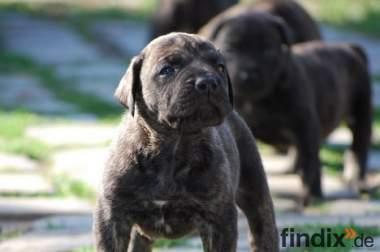 Dogo (Presa) Canario Welpen