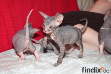 Don Sphynx Kitten mit Stammbäumen