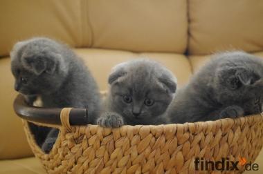 drei süße Britische/BKH Babykatzen