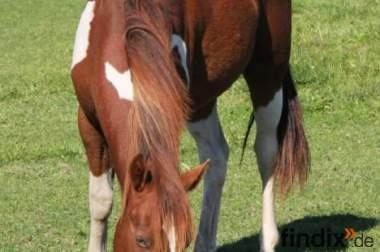 Dreifarbiger Paint Horse Junghengst