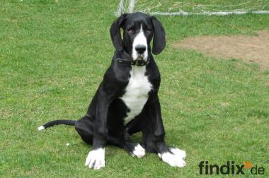 Dringend eine Deutsche Dogge zu verkaufen