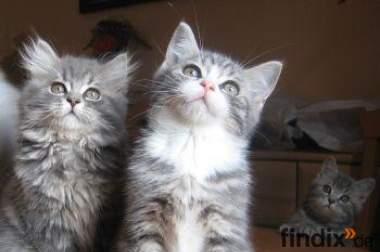 Dringend Katzenbaby gesucht