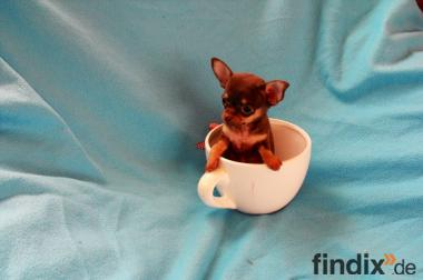 Echter Mini Teacup Chihuahua