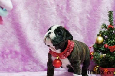Englisch Bulldog Welpen zu verkaufen