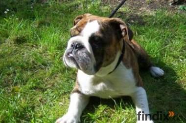 Englische Bulldogge, Junghunde abzugeben