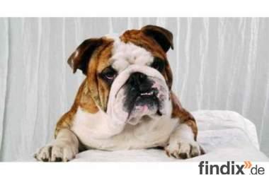 Englische Bulldogge, Zucht & Deckrüde
