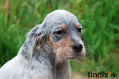 English Setter ohne Papiere Welpe