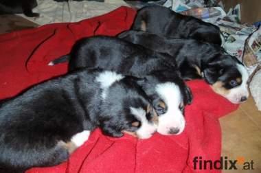 Entlebucher Sennenhunde zu verkaufen!