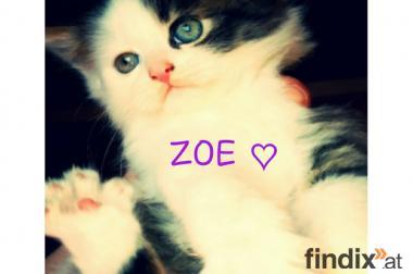 Entzückende MAINE COON Kitten