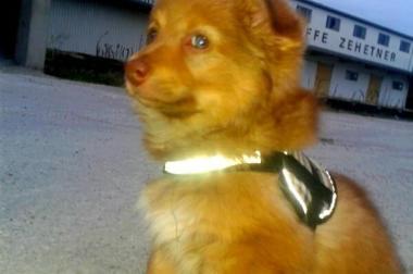 Entzückender blauäugiger Malchi (Malteser-Chihuahua Mix)