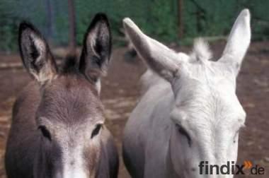 Esel/Mulis Ausbildung von Tieren und Haltern
