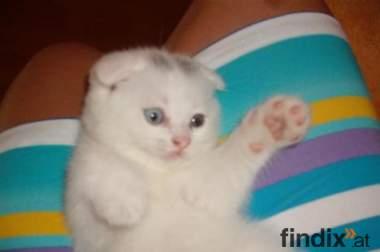 Extra BKH und schottische fold babykatze varkaufen