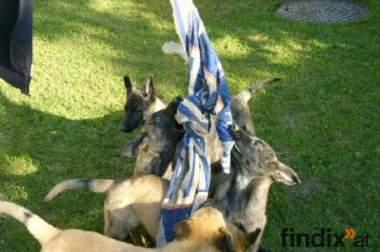 Familien-Wach-und Schutzhund