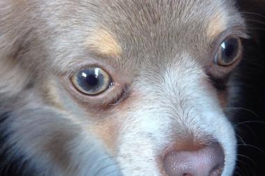 FCI Chihuahua Rüde sucht neue Zuhause