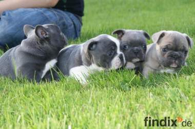 Franz. Bulldoggenbabys in Blau