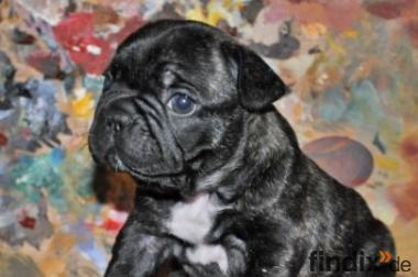 Französisch Bulldog Welpen frei atmenden / mit Papieren