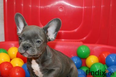 Französische Bulldogge in Blau Welpen mit Papiere