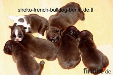 Französische Bulldoggen  Schoko Welpen