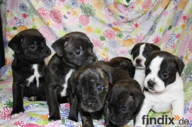 Französische Bulldoggen Welpen Mix abzugeben!!!