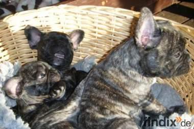 französische Bulldoggenwelpen