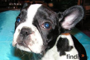 Französisches Bulldoggen Baby