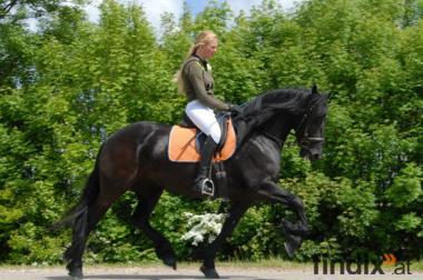 Friese Stute UND Hengst, 7 Jahre, 164 cm